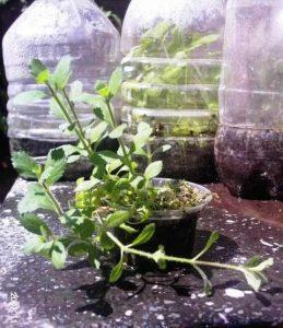 Cultivo emergido