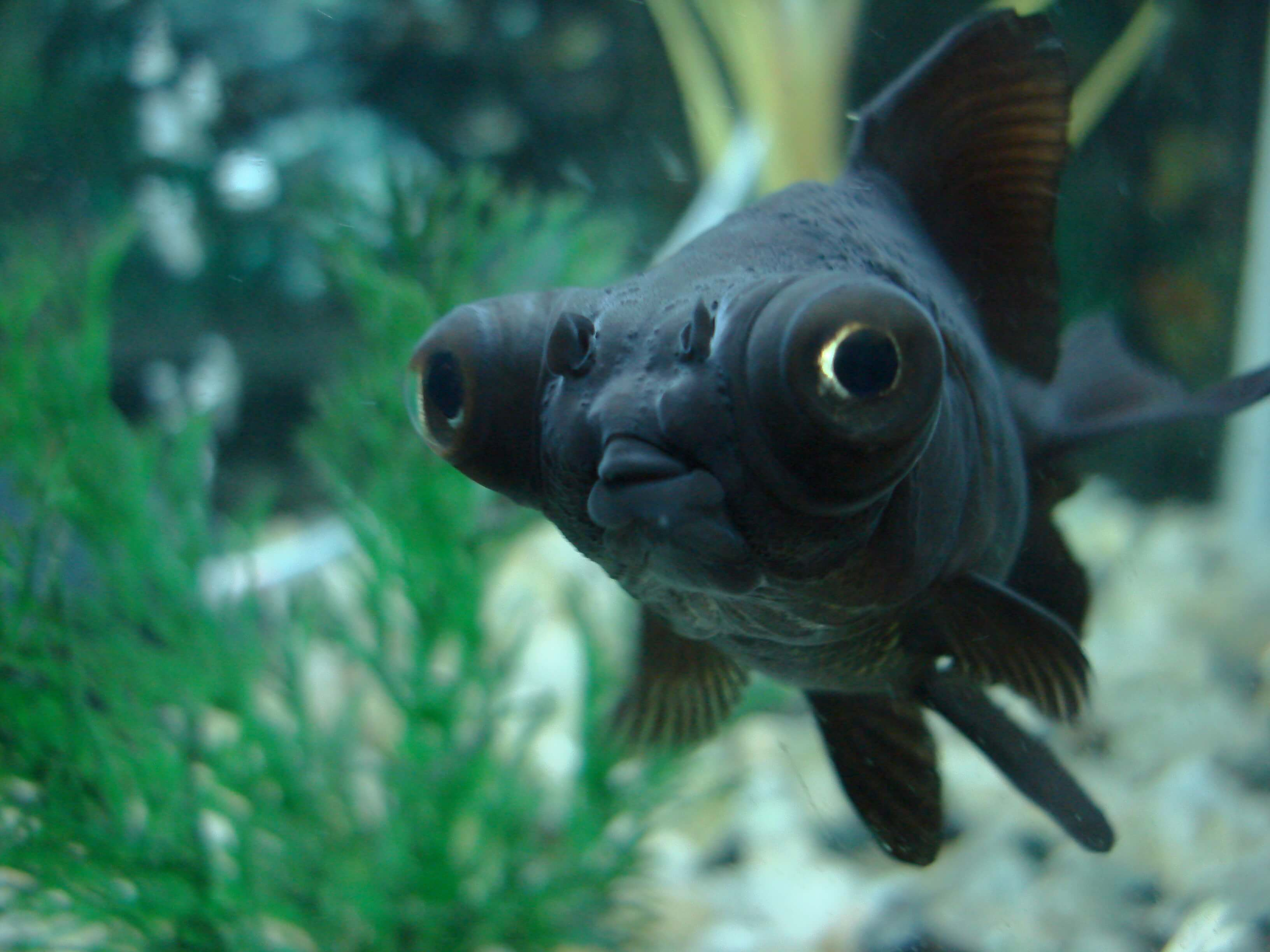 Black_Moor_Fish